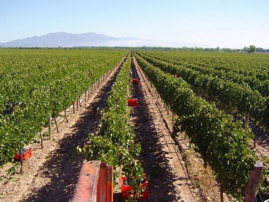 Vista del viedo vineyard